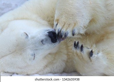 Funny Sleepy Polar bear close-up.