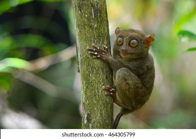 Funny sleepy tarsier sitting on a tree