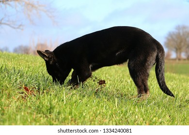 funny small black german shepherd puppy is digging in the garden