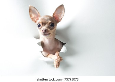 Funny small dog with big eyes and ears