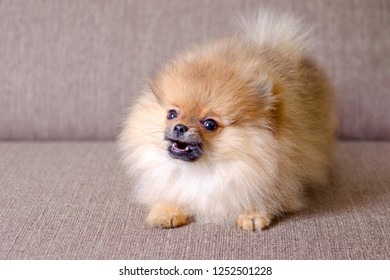 funny small pomeranian puppy barking on the couch