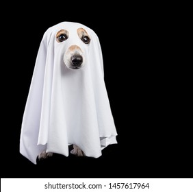 Funny small white halloween ghost on black background. Cute dog looking