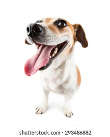Funny Smile dog Jack russell terrier