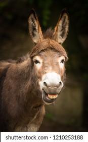 Funny smiling donkey