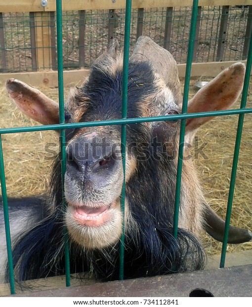 Funny smiling goat peeking out from the cage. Farm scenes