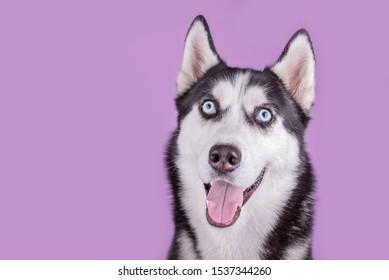 Funny smiling happy husky dog  muzzle. Concept of dog emotion