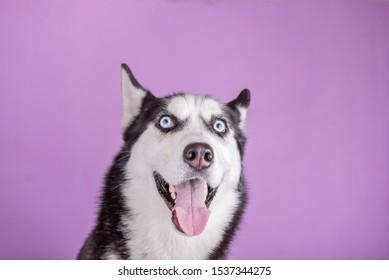Funny smiling husky dog wait food. Dog is waiting dog treats on magenta background