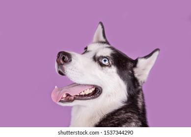 Funny smiling husky dog wait dog treats on magenta background. Dog emotions close up