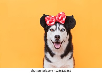 funny smiling husky in a festive costume looks like a mouse