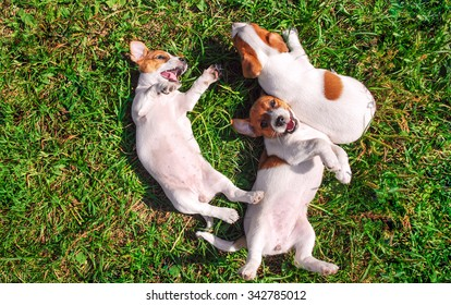 Funny smiling puppies playing outdoors on a green summer meadow. Happy pets enjoying their life. Small cute dogs background with space for your text or design