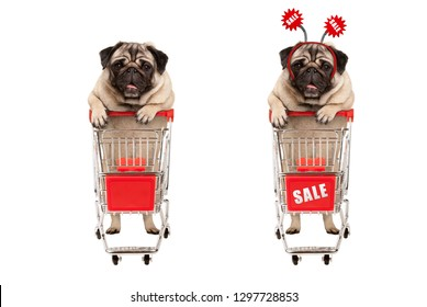 funny smiling shopping pug puppy dog standing behind red wired metal shopping cart with sale sign,  isolated on white background