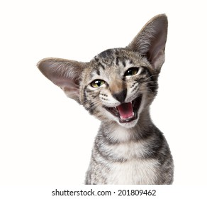 Funny snoot smiling ugly meowing small kitten. Close up portrait isolated on white.