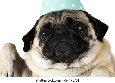 A funny snout of a little pug dog in a festive blue with a white pea cap. Close-up. Isolated on white background.