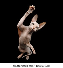 Funny Sphynx Cat Sitting and Raising up paw, Isolated on Black Background, top view