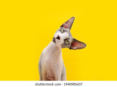 Funny sphynx cat tilting head side. Curiosity concept. Isolated on yellow background.