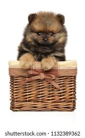 Funny Spitz dog puppy sits in wicker basket on white background. Baby animal theme