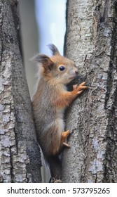 funny squirrel sits among the trees in the forest