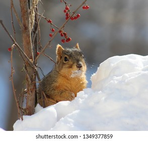 Funny squirrel sitting in a snow bank sporting a snow covered nose and a milk mustache, with bittersweet berries hanging over his head.