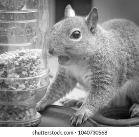 Funny squirrel wowing facial expression over seeds in glass-urban wildlife. Funny picture. Black and white.
