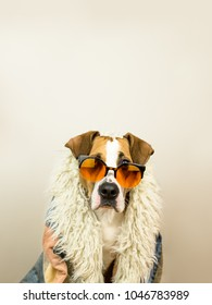 Funny staffordshire terrier dog portrait in sunglasses and hippy coat. Studio photo of pitbull terrier puppy in bright color summer eyeglasses posing in front of neutral background