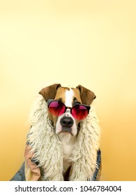 Funny staffordshire terrier dog portrait in sunglasses and hippy coat. Studio photo of pitbull terrier puppy in bright color summer eyeglasses posing in front of yellow orange background