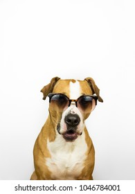Funny staffordshire terrier dog in sunglasses. Studio photo of pitbull terrier puppy in summer eyeglasses posing in front of neutral background