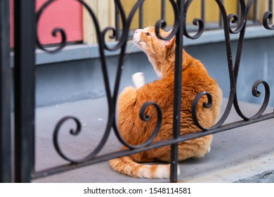 Funny stray orange white cat behind cast iron railing on sidewalk street in New Orleans, Louisiana scratching neck on porch of house