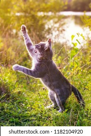 funny striped cat jumping on a green meadow with his paws high and releasing his claws catches in the air