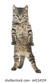 Funny, striped kitten stands on back paws
