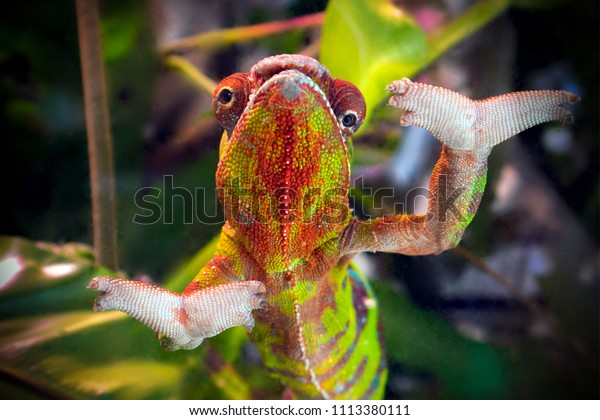 Funny striped and spotted chameleon of red and green coloring with wide open paws close up, darkened vignette