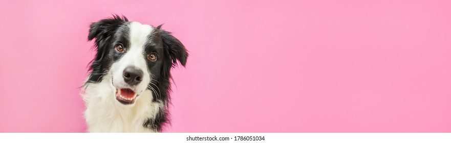 Funny studio portrait of cute smiling puppy dog border collie isolated on pink background. New lovely member of family little dog gazing and waiting for reward. Pet care and animals concept. Banner