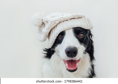 Funny studio portrait of cute smiling puppy dog border collie wearing warm knitted clothes white hat isolated on white background. Winter or autumn portrait of new lovely member of family little dog