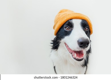 Funny studio portrait of cute smiling puppy dog border collie wearing warm knitted clothes yellow hat isolated on white background. Winter or autumn portrait of new lovely member of family little dog
