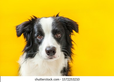 Funny studio portrait of cute smilling puppy dog border collie isolated on yellow background. New lovely member of family little dog gazing and waiting for reward. Pet care and animals concept.