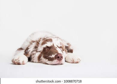 Funny studio portrait of the puppy dog Australian Shepherd lying and sleeping on the white background
