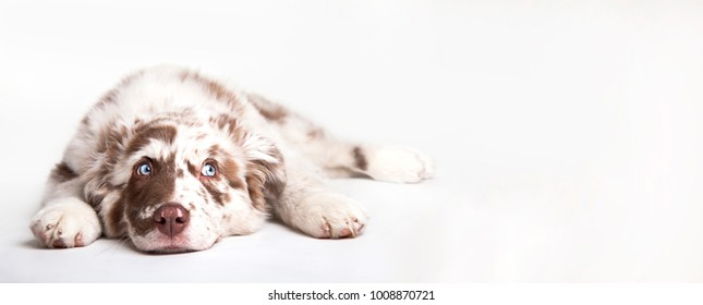 Funny studio portrait of the puppy dog Australian Shepherd lying on the white background, looking at the copy space