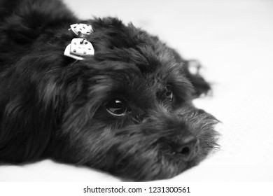Funny studio portrait of smiling doggie poodle french, bichon, lying on white background, playing and ready for photos, very fluffy, beautiful scenery.