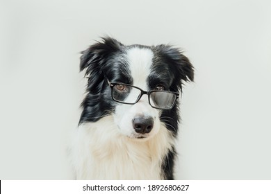 Funny studio portrait of smiling puppy dog border collie in eyeglasses isolated on white background. Little dog gazing in glasses. Back to school. Cool nerd style. Funny pets animals life concept