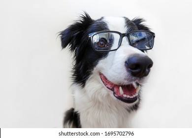 Funny studio portrait of smilling puppy dog border collie in eyeglasses isolated on white background. Little dog gazing in glasses. Back to school. Cool nerd style. Funny pets animals life concept