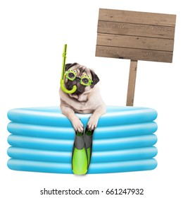 funny summer pug dog with goggles, snorkel and flippers in inflatable pool, with wooden sign isolated on white background