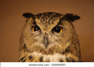 Funny suspicious-evil look. Portrait of female wild eagle owl (bubo bubo) with spiteful eyes. Raptor bird. Face of Eurasian eagle owl, eagle-owl. Photo of wise bird. Zoology and fauna. Emotions, emoji