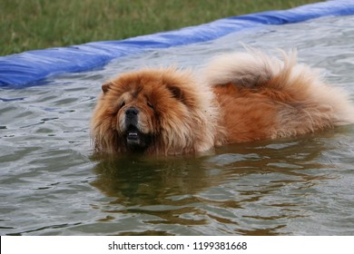 funny swimming chow chow in the pool in the garden
