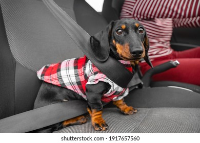 Funny terrified dachshund puppy in hipster plaid flannel shirt sits in passenger seat wearing seat belt. Pet is nervous in car when owner takes it to veterinary clinic.