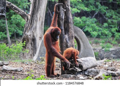 funny thing about orangutan activity in zoos
