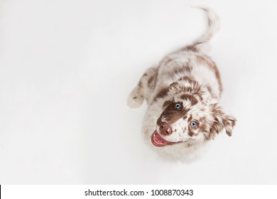 Funny top view studio portrait of the smilling puppy dog Australian Shepherd lying on the white background, gazing and waiting