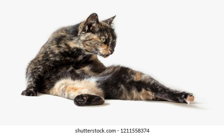Funny tortoiseshell cat in silly pose looking at something outside view. Contortionist cat isolated in white background.