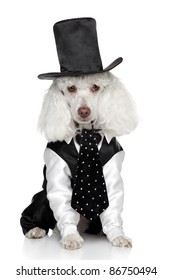 Funny Toy Poodle in a tuxedo and hat on a white background