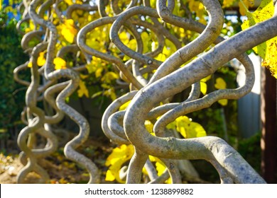 Funny twisted branches of plants on the plantations in the village of Iwon. South...
