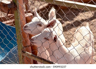 Funny two baby goats looking from the fence, Chile Atacama farm