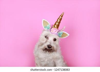 Funny unicorn little white dog schnauzer on pink background .